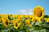 stock photo of kansas  - One sunflower stands taller than the rest in a large field in Kansas - JPG