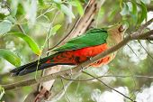 Curious Australian King-parrot (Alisterus scapularis)in the tree, seen near Apollo Bay on the Grat O