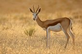 Springbok antelope (Antidorcas marsupialis) at sunrise, Kalahari desert, South Africa