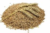 Wheat grains and cereals spike. Wheat isolated on white background