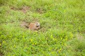 Prairie Dog Hiding In A Safe Place