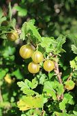 Yellow Gooseberries