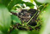 Little Bird Nestlings