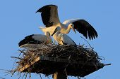 Large nest with two storks family on blue sky background