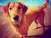 a golden retriever at a local public swimming pool toned with a retro vintage instagram filter effe