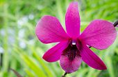 picture of orquidea  - Pink orchid  - JPG