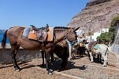 Donkeys in Fira on the Santorini island, Greece. They are a local symbol and take people, tourists t