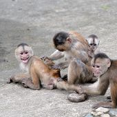 Happy Family (in Monkey's Conception) In Misahualli, Amazon, Ecuador