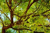 foto of locusts  - Locust tree close - JPG