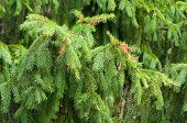 Wet Branches Of Spruce