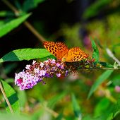 stock photo of butterfly-bush  - Butterfly Boloria Bellona leaning over Butterfly Bush - JPG