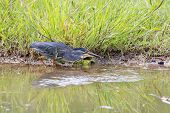 Green Backed Heron Carefully Hunting Fish In Shallow Water