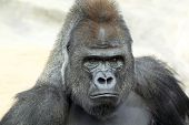 Bust Portrait Of A Gorilla Male On Rock Background.