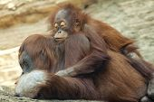 pic of orangutan  - A young orangutan is sleeping on its mother - JPG