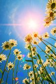 foto of daisy flower  - blooming daisy flowers on a background of blue sky and sun rays