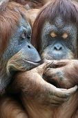 foto of orangutan  - Wild tenderness among orangutan - JPG