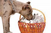 Pitbull sniffing rabbits