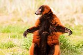 Funny Lemur Varecia Rubra