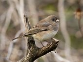 stock photo of snowbird  - A visitor from the north a Dark - JPG