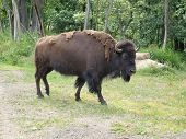 Bison In The Pasture