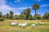 Goose family in pond on sunny day. Australia.