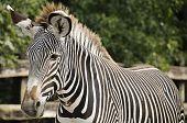Imperial Zebra