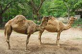 2 Sleepy Camels