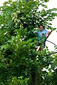 Man Climbed In A Tilia Tree