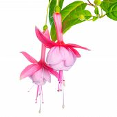 Delicate Pink Fuchsia Of An Unusual Form Is Isolated On The White Backgroud,  `luuk Van Riet`