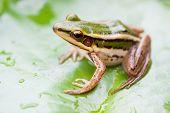 green frog on a lotus leaf