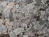 Scum-like lichens on the surface of granite. Background