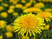 foto of dandelion  - Field of dandelions - JPG