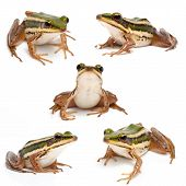 Collection of green frog