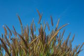 foto of pampas grass  - Some grass flowers in spring Season on the sky - JPG