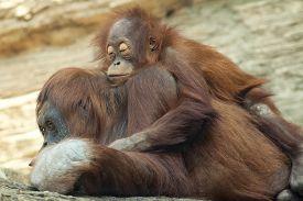 foto of orangutan  - A young orangutan is sleeping on its mother - JPG