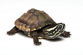 picture of terrapin turtle  - The little turtle isolated on a white background - JPG
