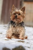 foto of yorkshire terrier  - Beautiful Yorkshire Terrier sitting on snow in winter - JPG