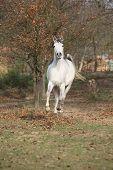 foto of stallion  - White arabian stallion running alone in autumn - JPG
