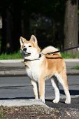 picture of puppy dog face  - Puppy of Japanese dog Akita Inu posing in the street - JPG