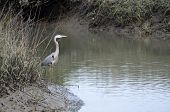 foto of marshes  - Great Blue Heron wading on the marsh land of Florida. ** Note: Shallow depth of field - JPG