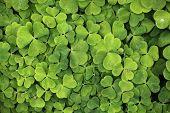 stock photo of sorrel  - Leaves of common wood sorrel  - JPG