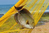 foto of horny  - Big fish in a yellow fishing nets - JPG