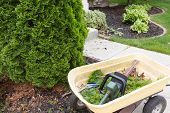 stock photo of tree trim  - Using a hedge trimmer to trim Arborvitaes or evergreen Thuja trees around the house to maintain their ornamental tapering shape in spring - JPG