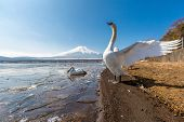 picture of snow goose  - Mountain Fuji fujisan from Yamanaka lake and goose in winter - JPG