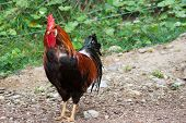 stock photo of gaul  - a chicken that runs to the yard of a farmhouse in the midst of earth and grass