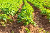 stock photo of potato-field  - Rows on Potato field with green bushes - JPG