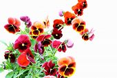 picture of viola  - Red flowers viola tricolor on a white background