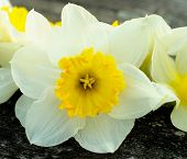 stock photo of daffodils  - Fragile Spring Yellow Daffodil between Blurred Daffodils closeup on Natural Weathered Wooden background - JPG