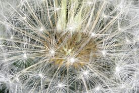 pic of defloration  - deflorate enlarged Dandelion ( blowball ) with fluff and seeds over black ** Note: Shallow depth of field - JPG
