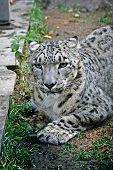 A Snow Leopard